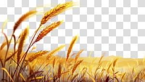 Durum Pasta Masakan Italia Adonan tepung terigu, bidang gandum emas yang indah, ilustrasi bidang gandum coklat png
