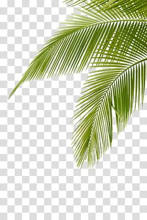 Daun Daun Arecaceae, daun Kelapa, daun pohon kelapa hijau png