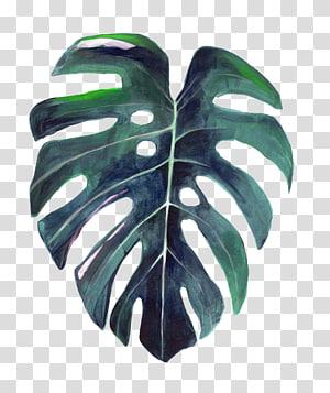 Tanaman keju Swiss, Leaf Botany, ilustrasi Botani, daun Cat Air, ilustrasi tanaman hijau png