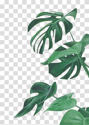 Lukisan cat air Leaf Botanical ilustrasi Ilustrasi Botani, daun cat air, tanaman keju Swiss png