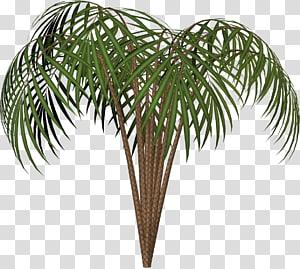 Arecaceae Woody menanam Pohon Evergreen, menanam png