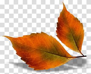 Autumn leaf color Autumn Leaves chord progression, Beautiful Fall Leaves, dua daun coklat PNG clipart