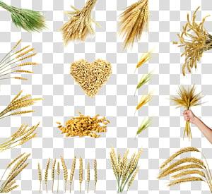 kolase biji-bijian gandum, Beras Sereal Gandum Gandum Oryza sativa, Berbagai pilihan gandum png