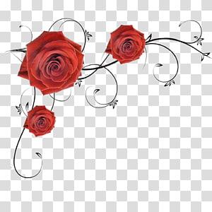 bunga mawar merah, mawar taman mawar pantai, mawar PNG clipart