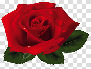 Mawar, Mawar Merah, mawar merah png
