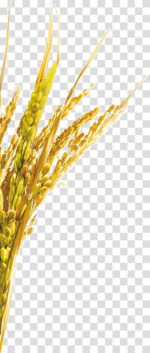 gandum, Emmer Rice Oat, Rice png