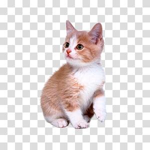 kucing kucing oranye dan putih, Kucing lucu png