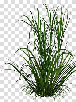 Rumput, Rumput, ilustrasi rumput hijau png