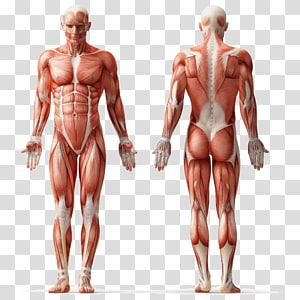 fisiologi manusia, otot anatomi manusia sistem otot tubuh manusia, otot PNG clipart