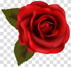 Mawar Merah, Mawar Merah Indah, ilustrasi bunga mawar merah png