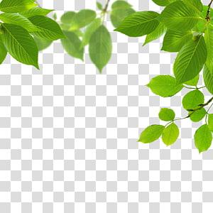 animasi daun hijau, Daun Hijau, Daun png