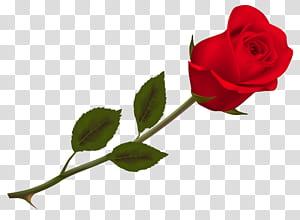 Mawar, Mawar Merah yang Indah, mawar merah png