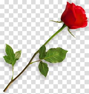 Rose Scalable Graphics, Mawar Merah, bunga mawar merah png