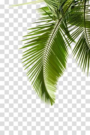 Tanaman Pohon Daun Arecaceae, daun kelapa png