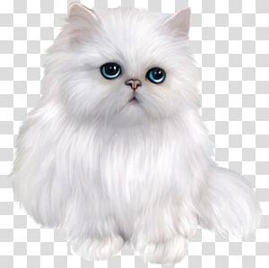 Kucing Persia Eksotis Shorthair Kucing Siam Kucing Himalaya Asia Semi-longhair, Kucing Persia Putih, Kucing Putih png