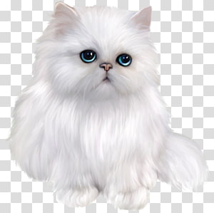Kucing Persia Eksotis Shorthair Kucing Siam Kucing Himalaya Asia Semi-longhair, Kucing Persia Putih, Kucing Putih PNG clipart
