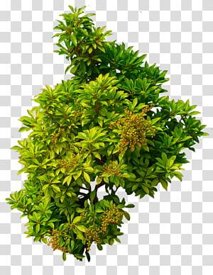 tanaman berdaun hijau,, Bush png