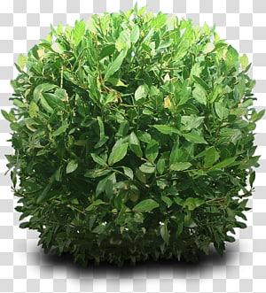 Semak, Semak Hd, tanaman palatum hijau png
