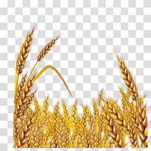 ladang gandum, Wheat Euclidean, bahan gandum emas png