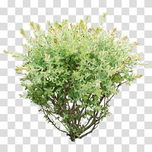 tanaman berdaun hijau, Tanaman Semak, Bush png