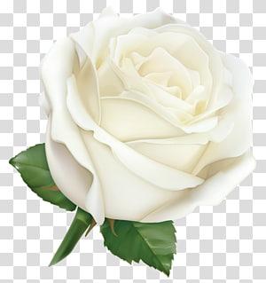 Mawar Merah Muda, Mawar Putih Besar, ilustrasi mawar putih png