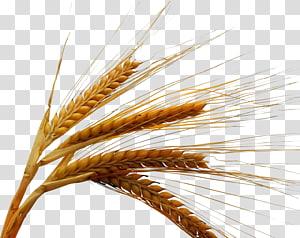 ilustrasi gandum, Sereal gandum gandum Musim Dingin, Beras png
