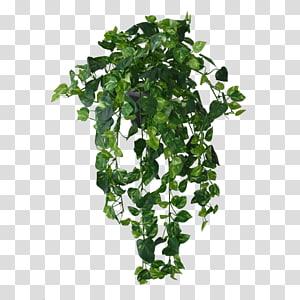 tanaman gantung berdaun hijau, aeschynanthus radicans menanam anggur mona lisa, anggur hutan png