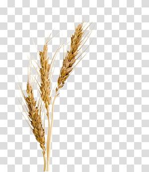 ilustrasi tanaman gandum krem, Barley malt sirop Barley malt sirop Wheat Barley Malt Extract, barley png