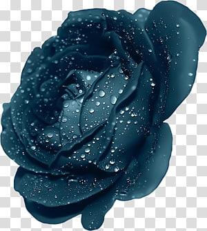 embun air pada mawar, Mawar Ungu, Mawar Biru Dengan Embun png