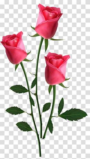 Bunga pink Rose, Beautiful Pink Roses, tiga bunga mawar pink png