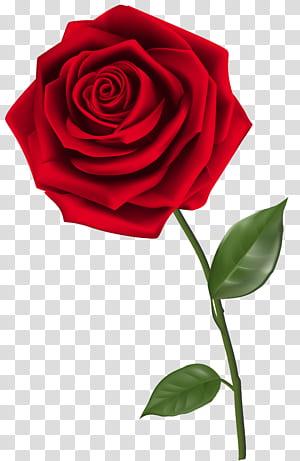 Mawar, Tunggal Mawar Merah, mawar merah png