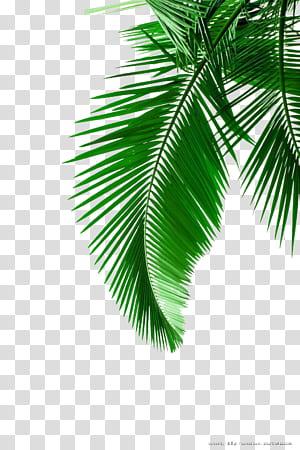 Arecaceae Leaf White, bahan daun kelapa hijau, daun hijau PNG clipart