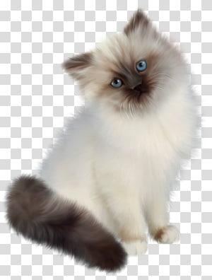 Kucing Himalaya, Kucing Persia, Kucing Ragdoll, Kucing Birman Kitten, Kitten png