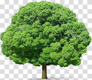 Pohon, Pohon Hijau, ilustrasi pohon berdaun hijau png
