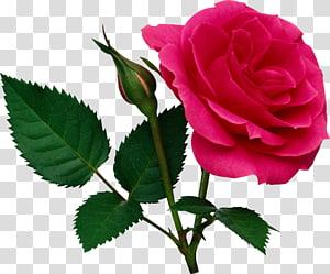 Mawar, Mawar Merah Muda Mawar dan Kuncup Mawar, ilustrasi mawar merah png
