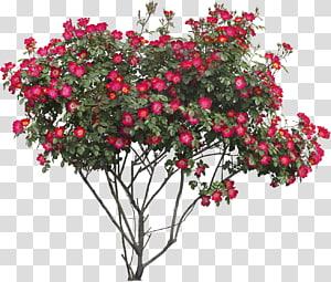 tanaman berbunga merah, Flower Tree Rose, Bush png