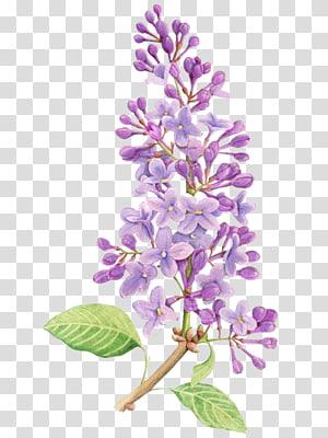 Lilac Flower Menggambar Tattoo Lukisan Cat Air, Bunga ungu, bunga ungu petaled png