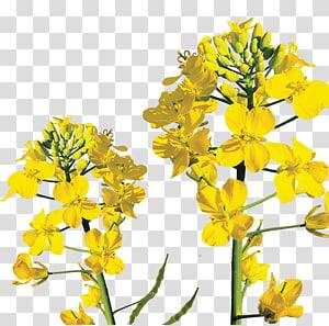 canola rapeseed mustard menanam brassica rapa, rumput musim semi png