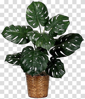 tanaman pot hijau, Houseplant Fiddle-leaf fig, pabrik keju Swiss, Leaf PNG clipart