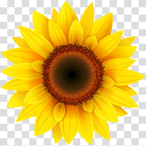 Bunga matahari umum Pixel XCF, Bunga Matahari, bunga matahari kuning png