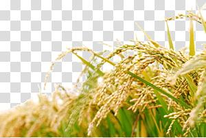 ilustrasi tanaman padi, minyak dedak padi Makanan Masakan Jepang, Beras png