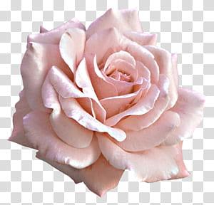 Bunga Mawar Merah Muda, Mawar Merah Muda Besar, bunga putih png