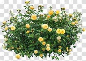 Tanaman Bunga Semak, Semak, mawar kuning PNG clipart