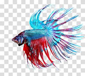 ikan cupang biru dan merah, akuarium ikan pertempuran siam, ikan tropis yang indah png