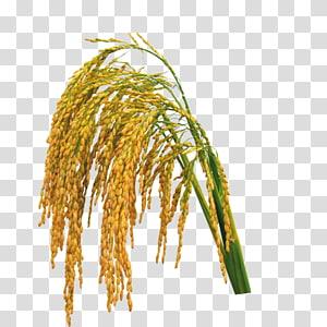 gandum merah, Beras, padi, Beras, Beras, Beras, Hedao png