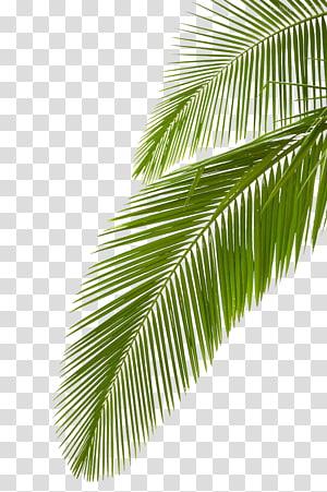Arecaceae Leaf Cabang palem, daun palem, daun palem PNG clipart