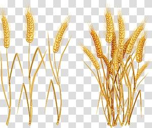 ilustrasi gandum merah, Common wheat Ear, Wheat png