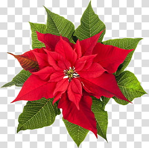 Poinsettia Natal menanam Bunga, poinsettia png