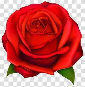 Mawar, Mawar Merah, ilustrasi bunga mawar merah png