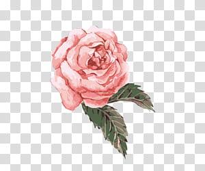 Lukisan Cat Air Bunga, Cat Air yang dilukis dengan tangan, bunga pink, pink rose png